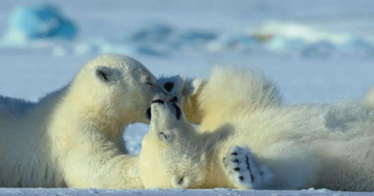 mammal-wildlife-animal-bear-polarbear